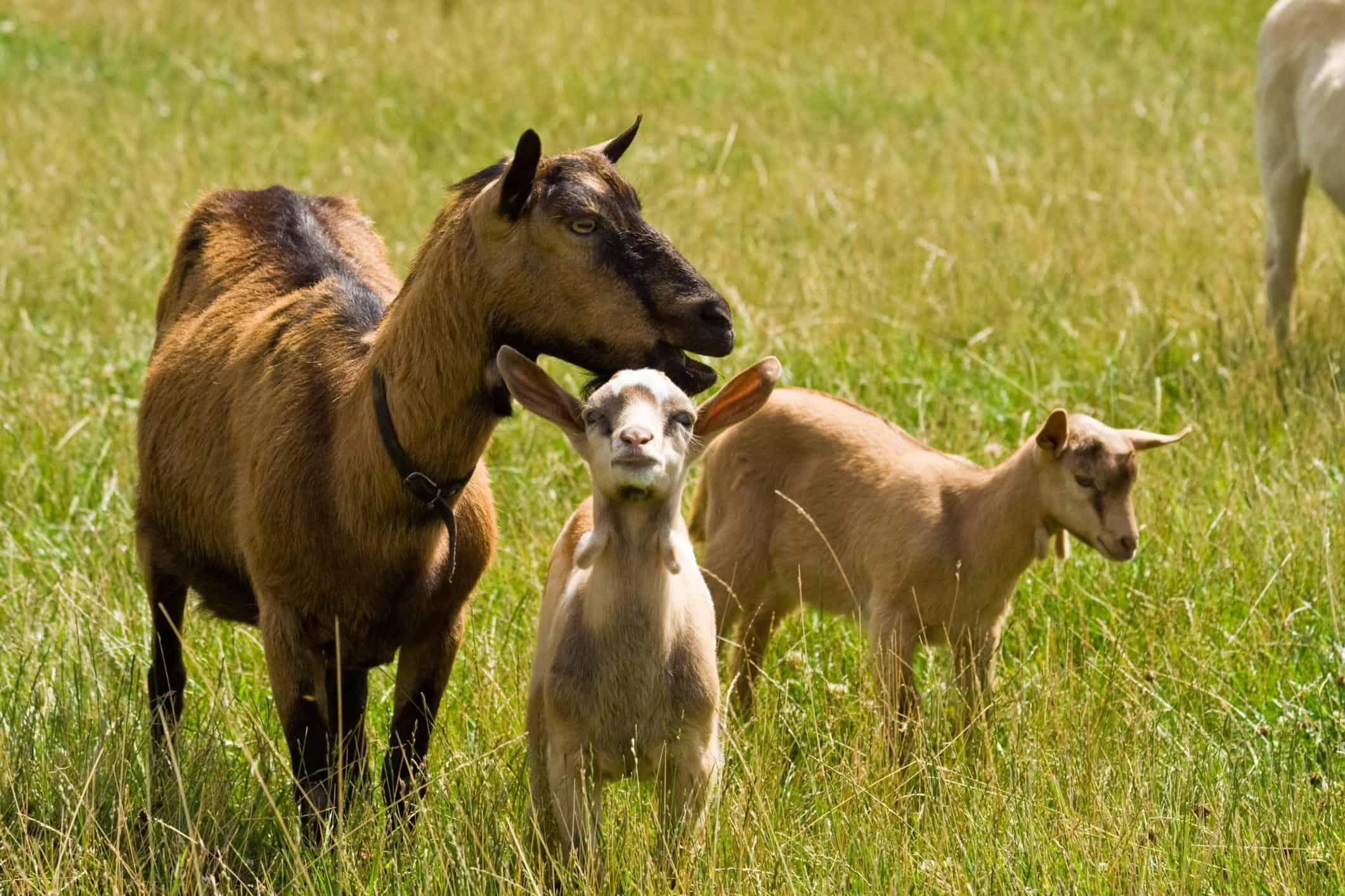 Goat Meat Farm | Fresh Goat Meat farm