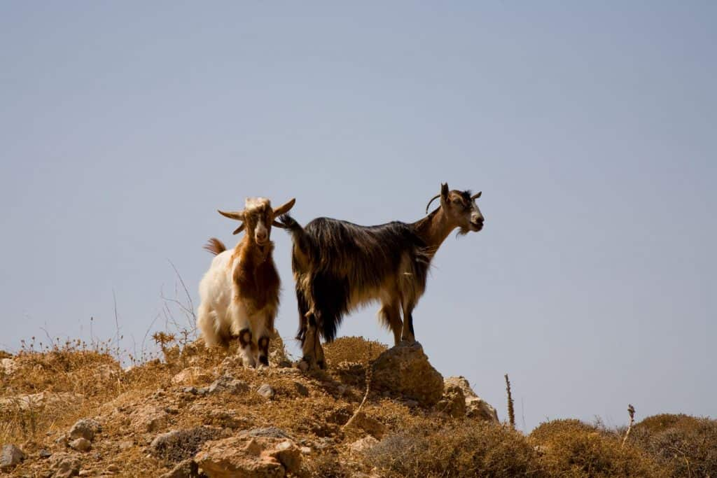 Goat Meat Farm