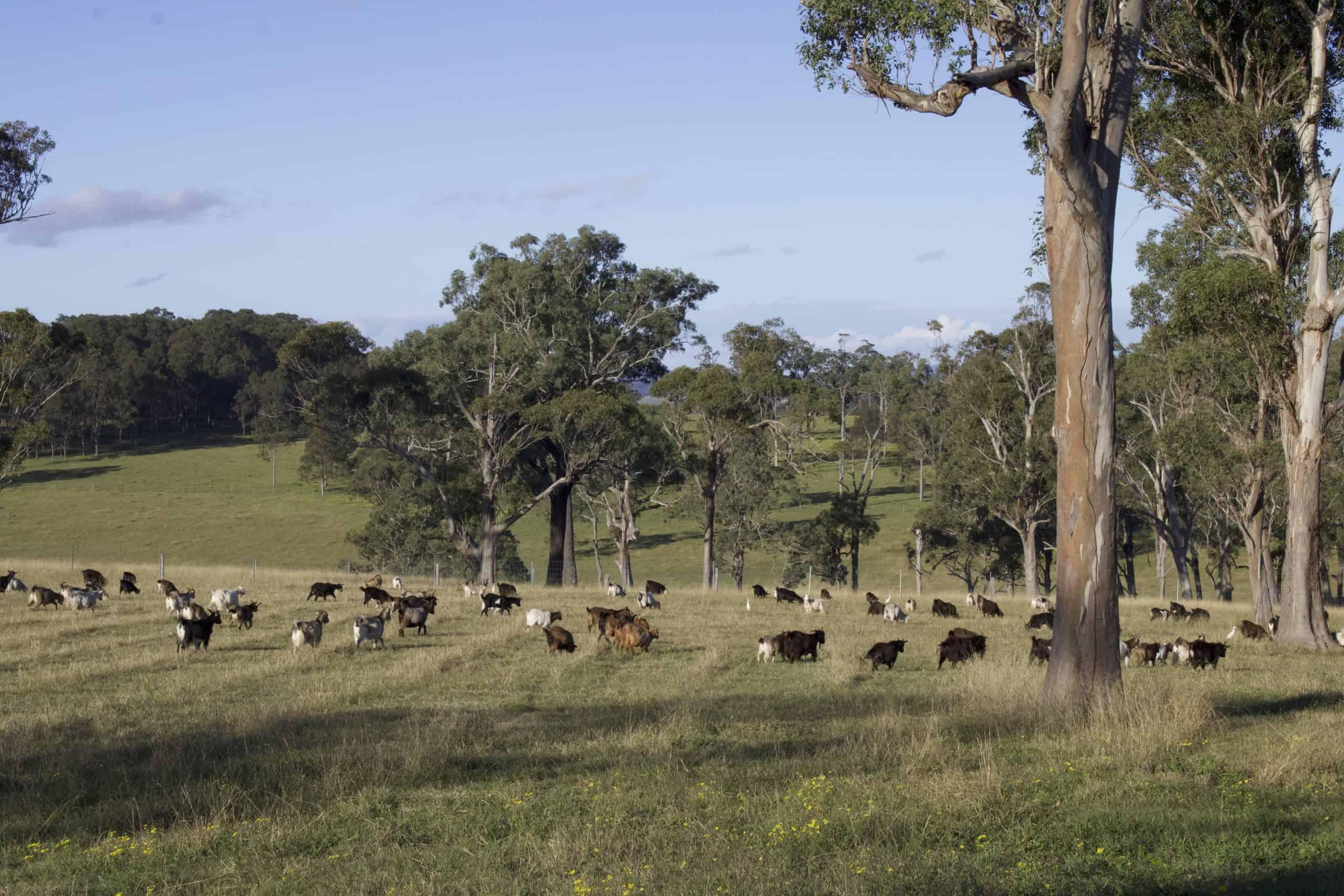 Goat Meat Farm - Hunter Valley