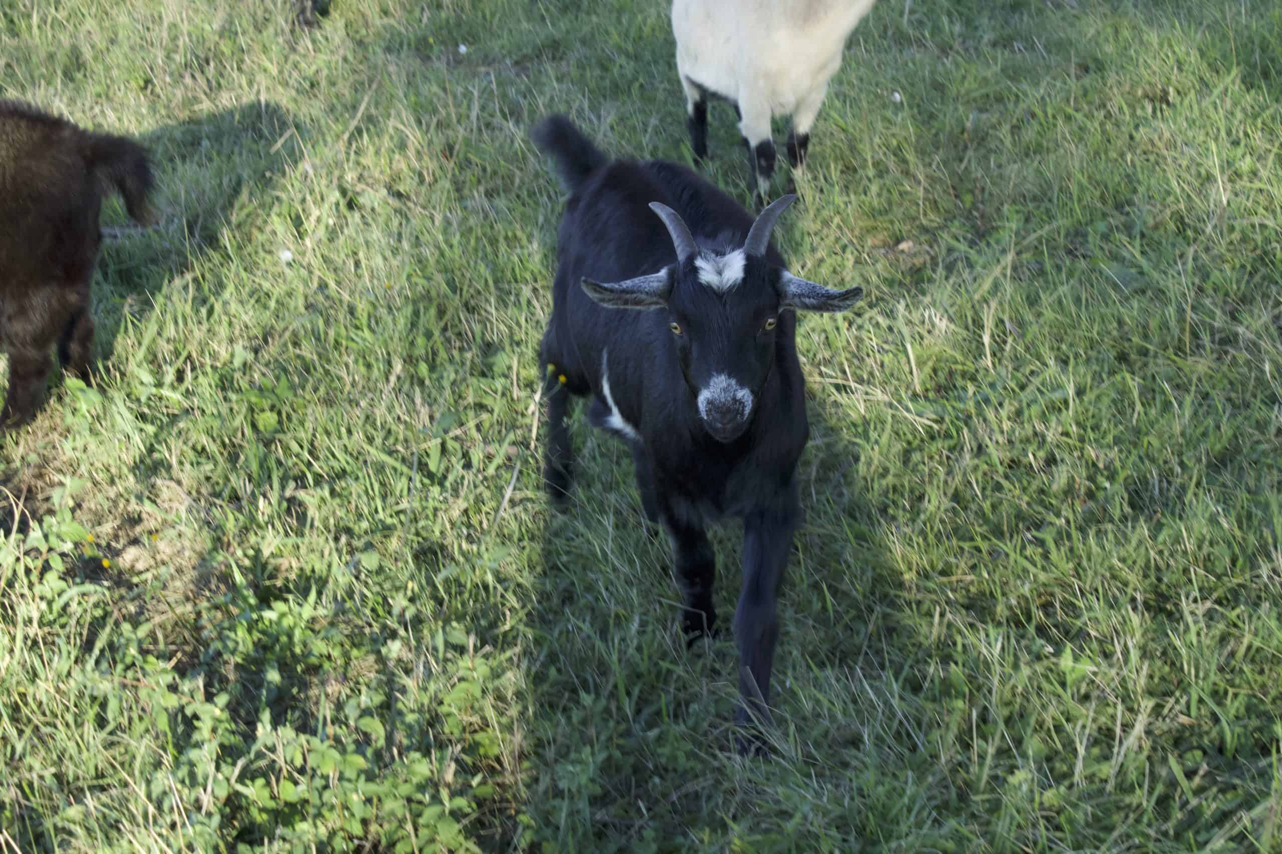 Goat Meat Farm - black goat