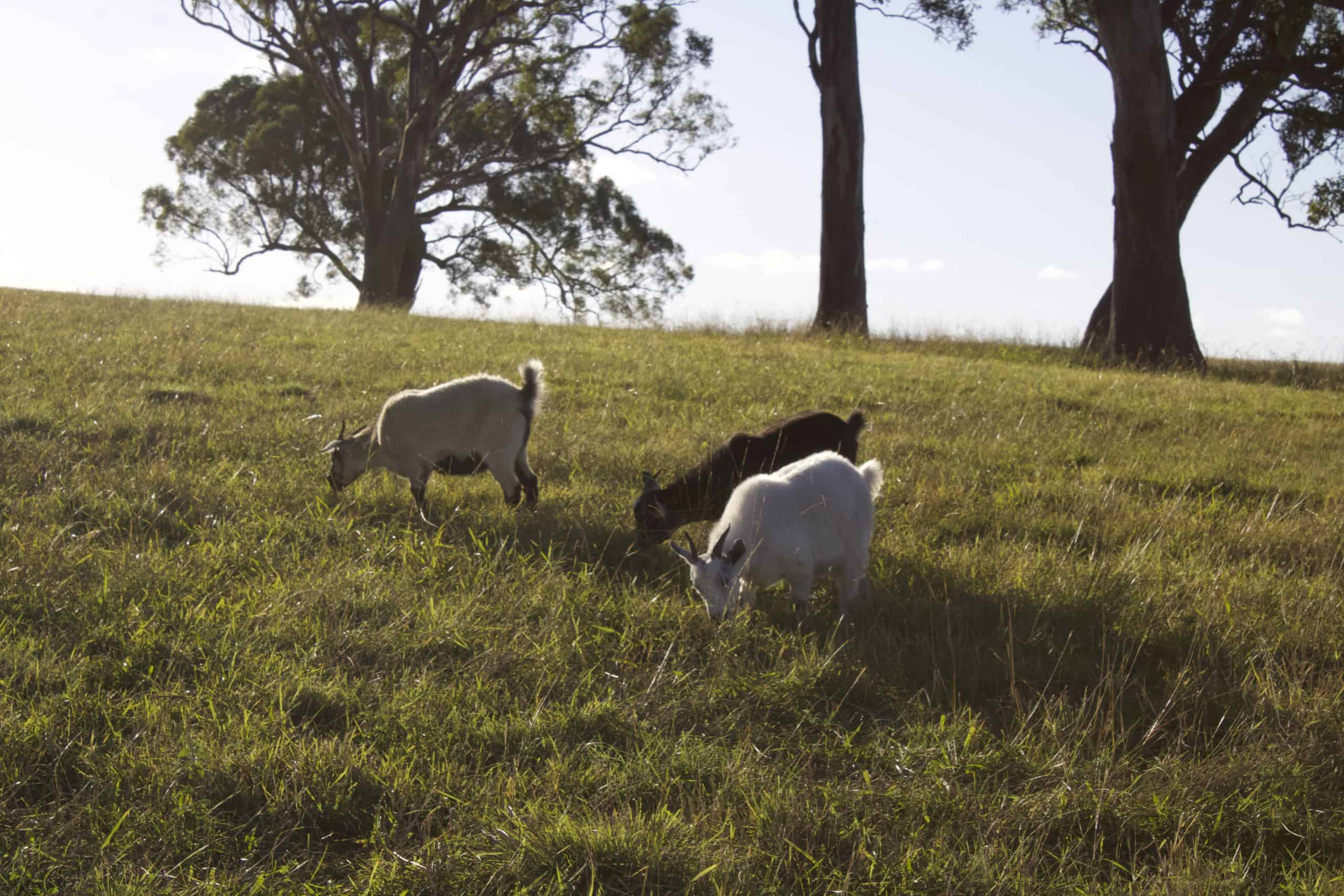 Goat Meat Farm - grazing