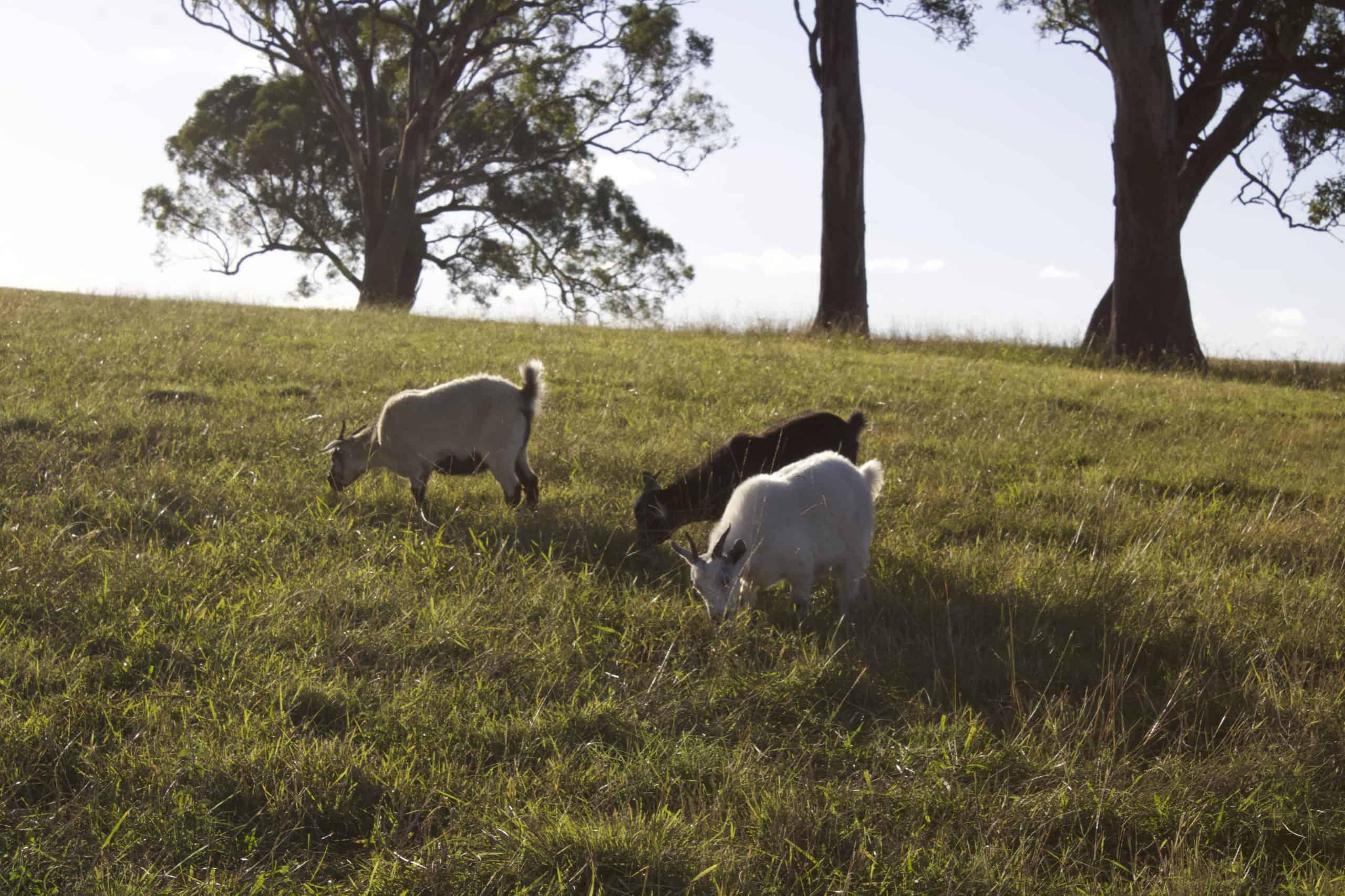 Goat Meat Farm - grazing