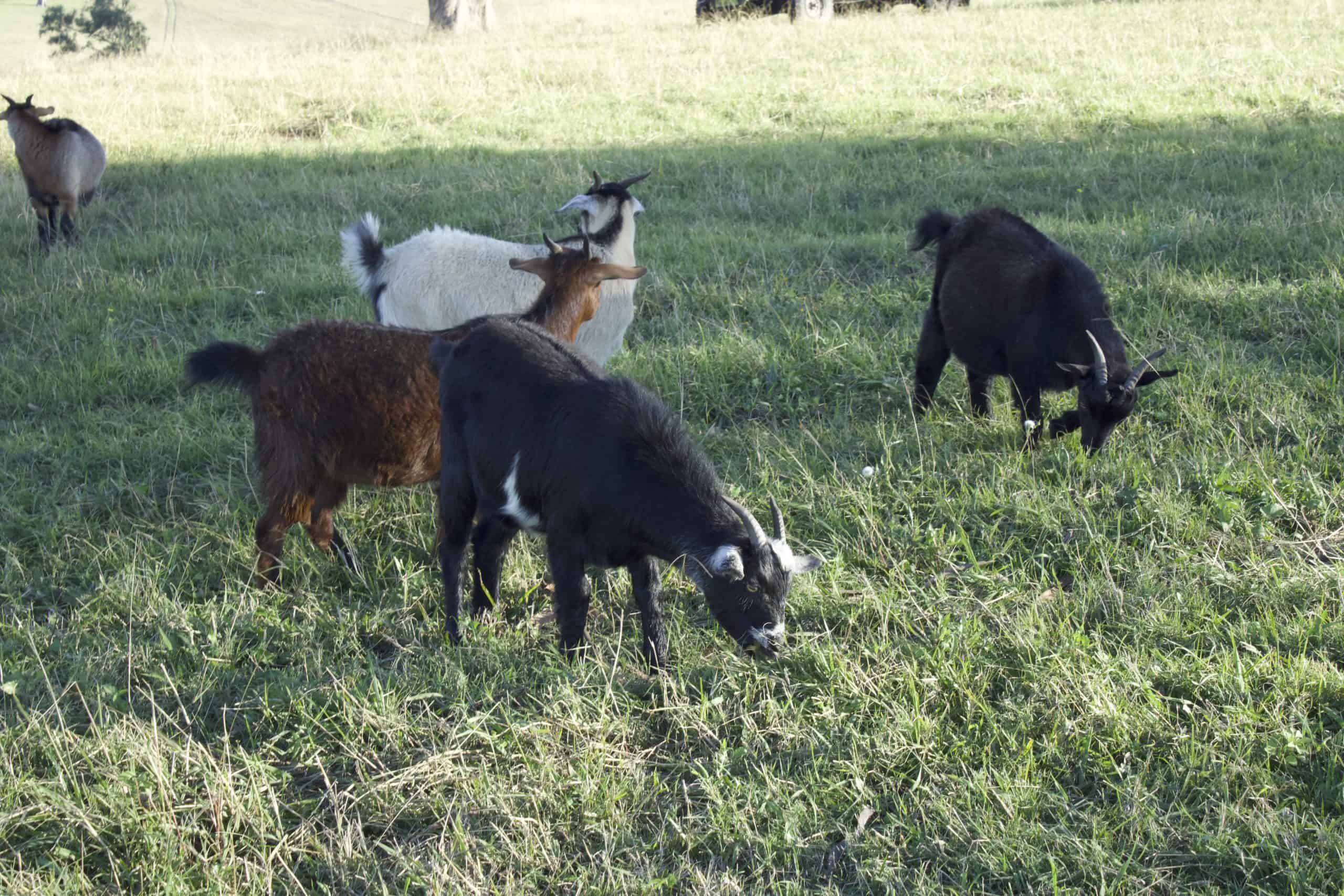 Goat Meat Farm - small herd