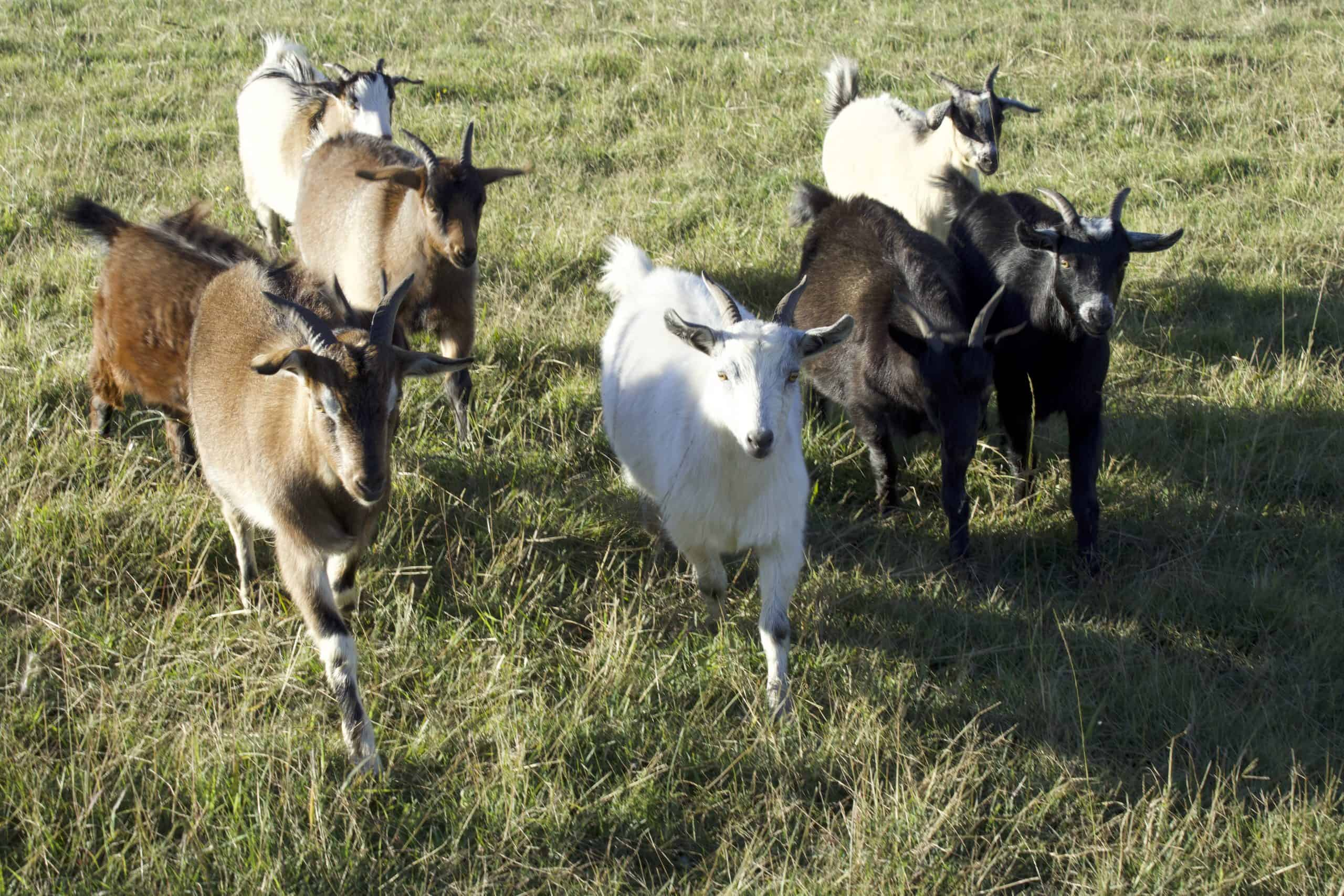 Goat Meat Farm - small mixed herd