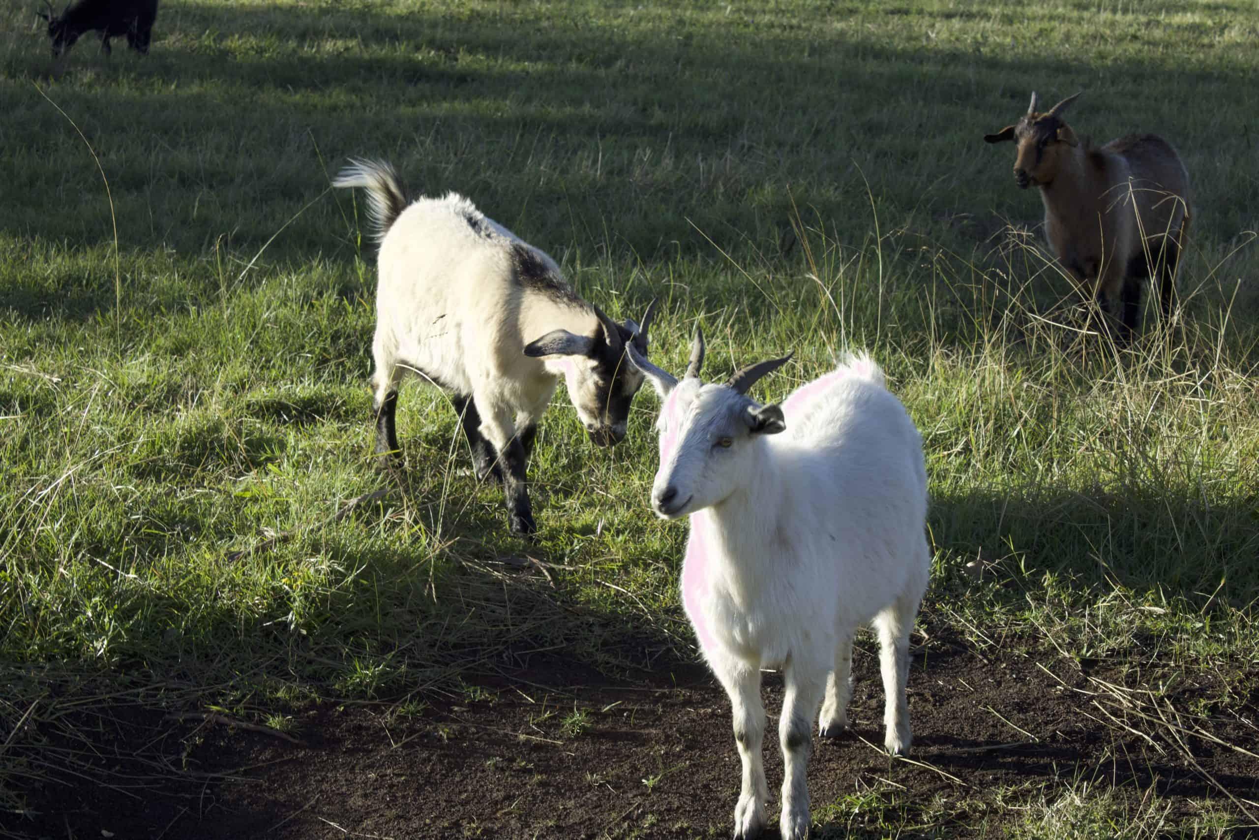 Goat Meat Farm - white marked goat